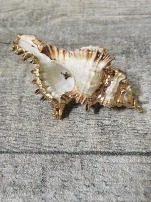 Muschel Muschelgehäuse 60 mm weiß gold - MONDSPINNE