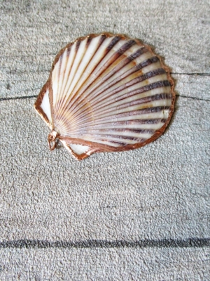 Muschel Jakobsmuschel mit goldfarbenem Metallrand 50-68x40-54x4-5 mm, Bohrung 2 mm - MONDSPINNE